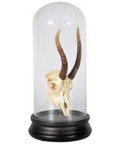 Aroll Sculpture-in-Dome Display, Gazelle Skull